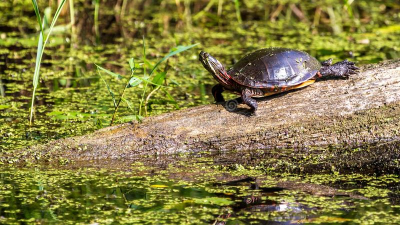 Midland Painted Turtle. (Chrysemys picta marginata) Basking on a Log Surrounded by Lily Pads in Michigan royalty free stock images