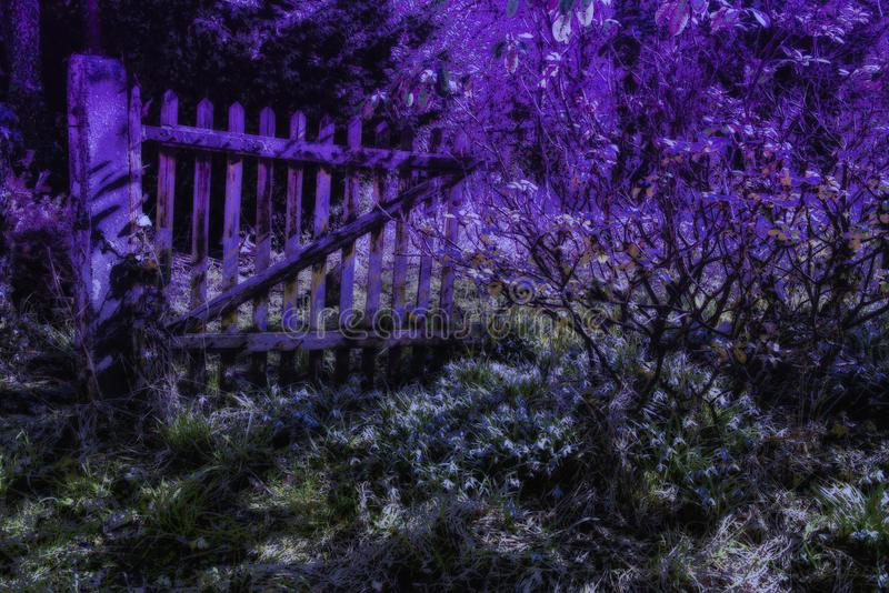 Midnight in abandoned garden with flowering snowdrops. Violet light over gate and bushes of abandoned garden with first spring flowers