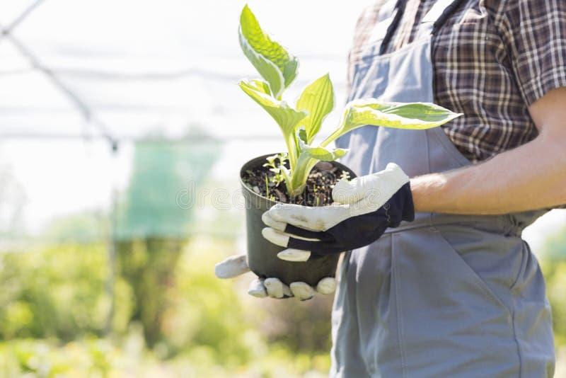 Midsection садовника держа в горшке завод на питомнике стоковое фото