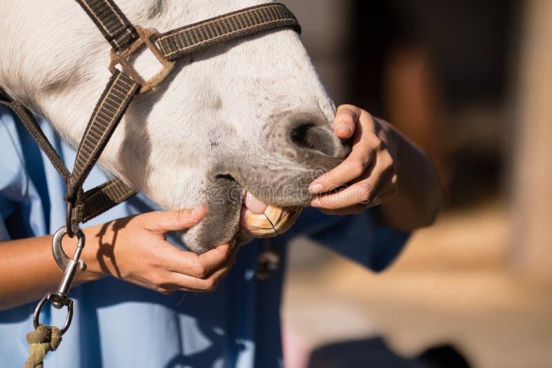 Midsection av den undersökande hästmunnen för kvinnlig veterinär arkivfoton