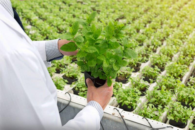Midsection egzamininuje rozsady w rośliny pepinierze męski biochemik fotografia stock
