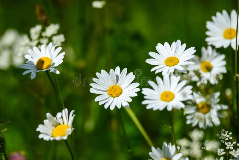 Midsummer meadow with beautiful flowers stock images
