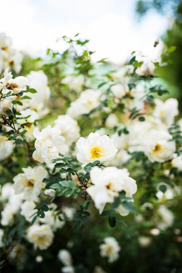 Midsummer rose in full blossom. Beautiful Midsummer rose, Rosa spinossissima in full blossom in a finnish summer cottage yard- closeup stock photo