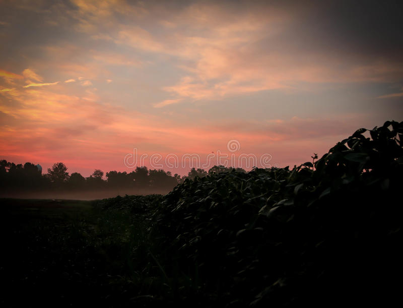 Midwest Soybean Field During Sunrise. Sunrise in the Midwest. The beauty of the sky is illustrated among the soybeans in the morning haze royalty free stock images