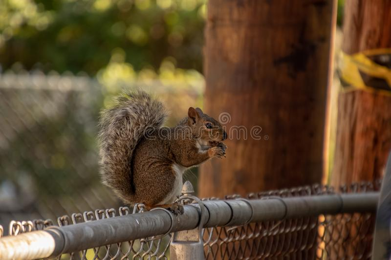 Midwestern USA gray squirrel, Sciurus carolinensis, sitting on chainlink fence while nibbling on a peanut stock photos