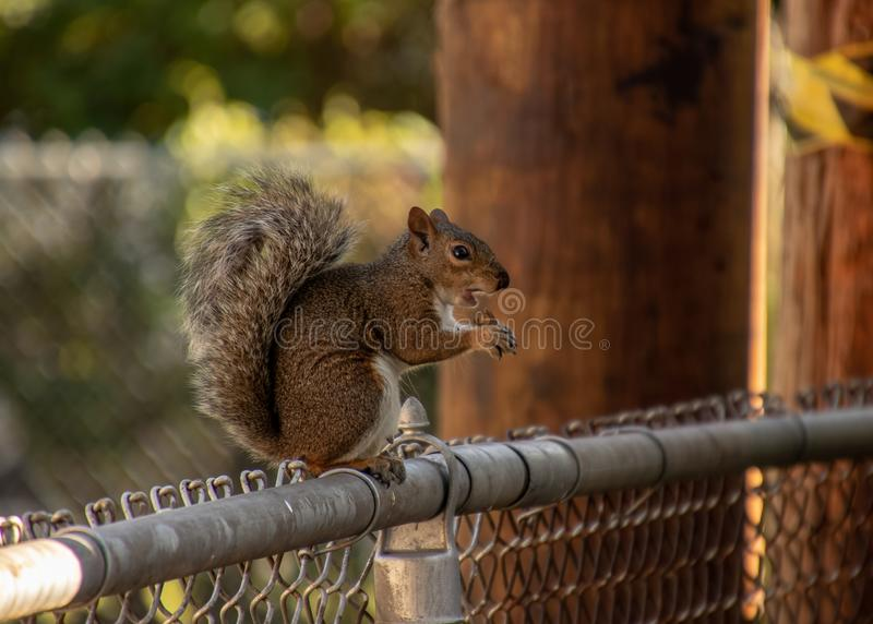 Midwestern USA squirrel sitting on fence eating peanut. Midwestern USA gray squirrel, Sciurus carolinensis, sitting on chainlink fence while eating a peanut stock photography