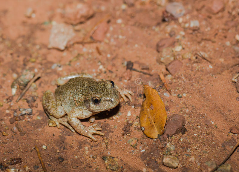Midwife Toad on the ground stock images