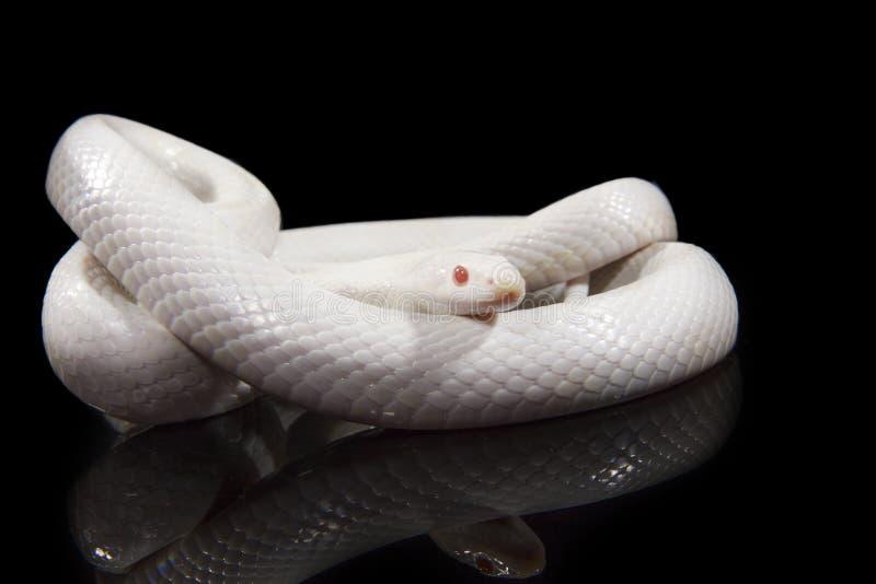 Miecielica Kukurydzany wąż obrazy stock
