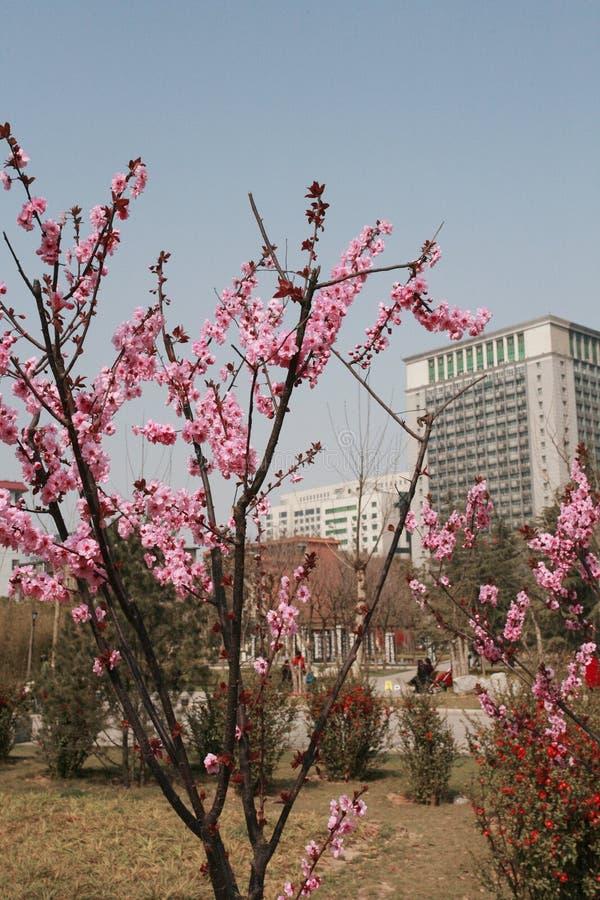 Miejsce dokąd brzoskwini okwitnięcia są w pełnym kwiacie zdjęcia royalty free
