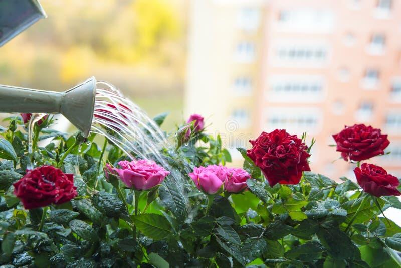 Miejski popęd na zieleń: róże balkonowe są obrazy royalty free