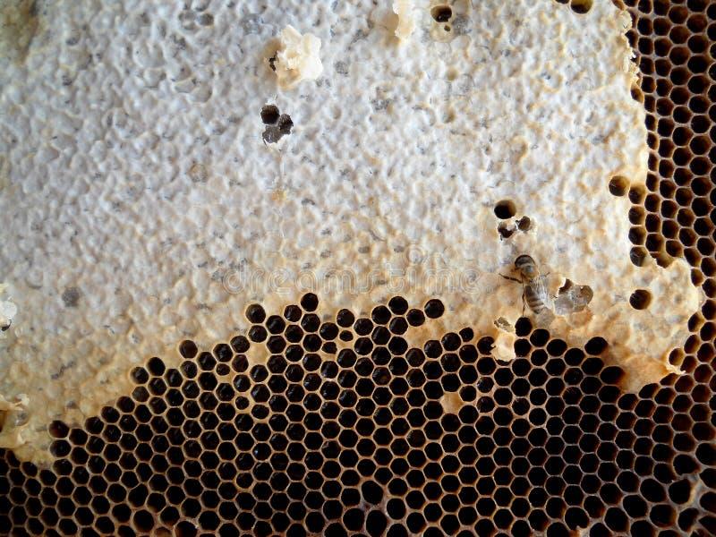 Download Miel imagen de archivo. Imagen de travieso, fresco, polen - 100526969