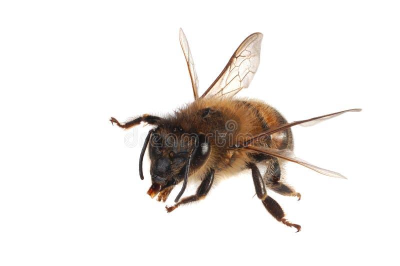 miel d'abeille photo stock
