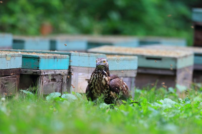 Miel-halcón oriental en Japón foto de archivo