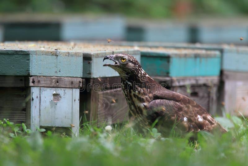Miel-halcón oriental en Japón imagenes de archivo