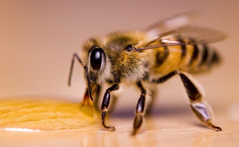 Miel potable d'abeille photo libre de droits