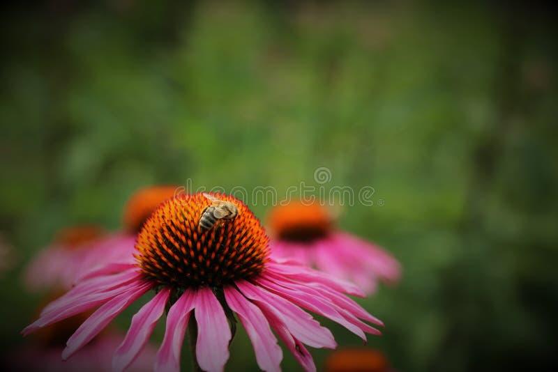 Miel rose de fleur et d'abeille photos stock
