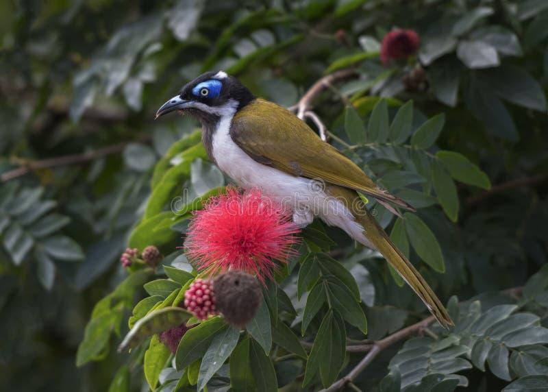 Miele-mangiatore affrontato blu in Australia orientale fotografia stock libera da diritti