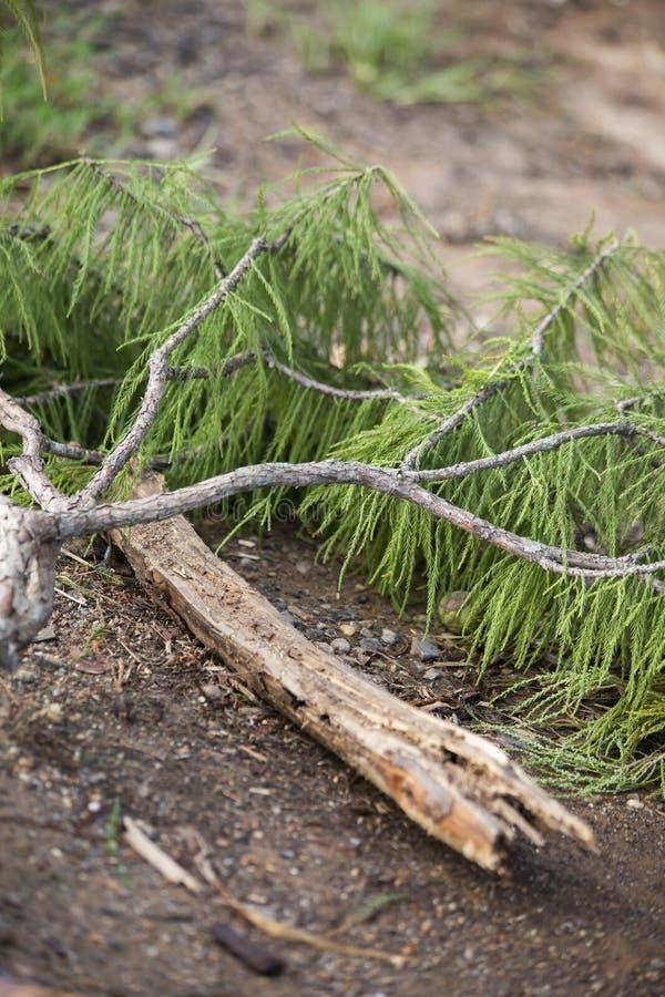 Miembro de árbol caido fotos de archivo