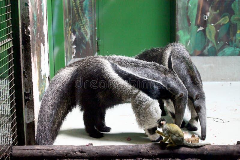 Mier-beren stock afbeeldingen