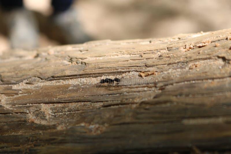 Mier die op een boomtak kruipen royalty-vrije stock foto's