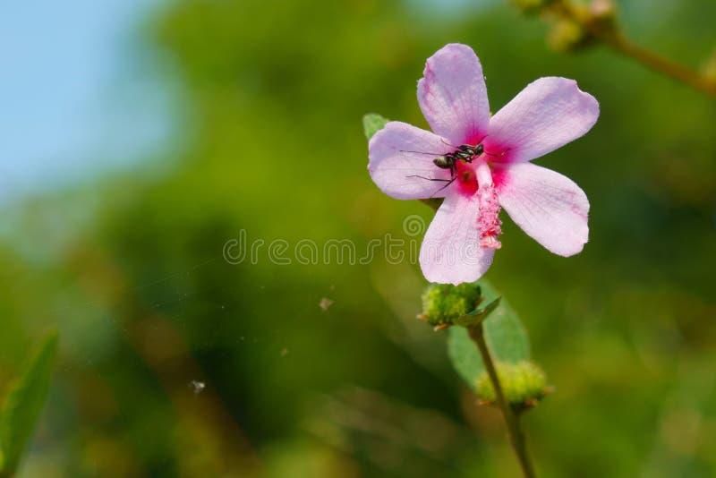 Mier en roze bloem, Urena-lobata stock fotografie