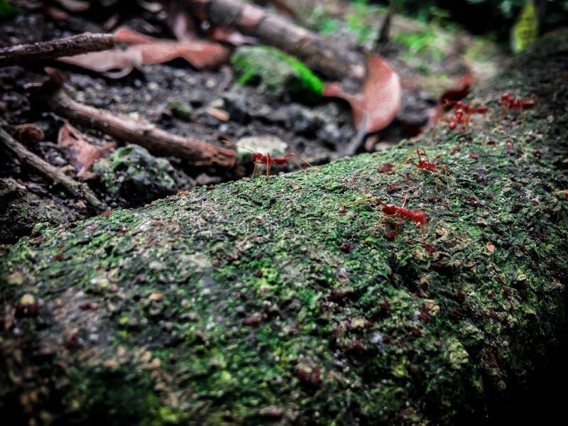 Mier in het hout stock afbeelding