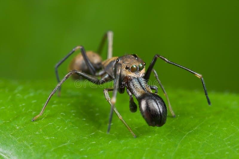 Mier-mimische het springen spin royalty-vrije stock fotografie