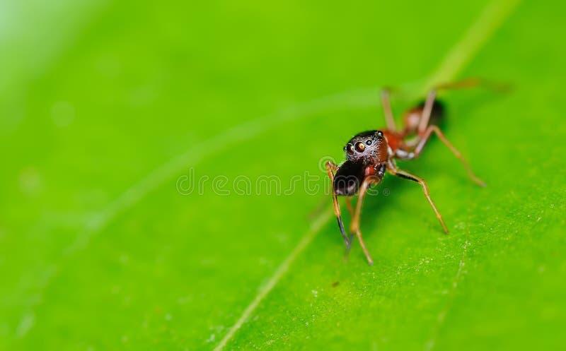 Mier-mimische Spin met selectieve nadruk op haar ogen stock afbeelding