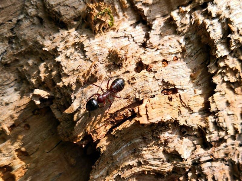 Mier op een hout in het bos royalty-vrije stock afbeelding
