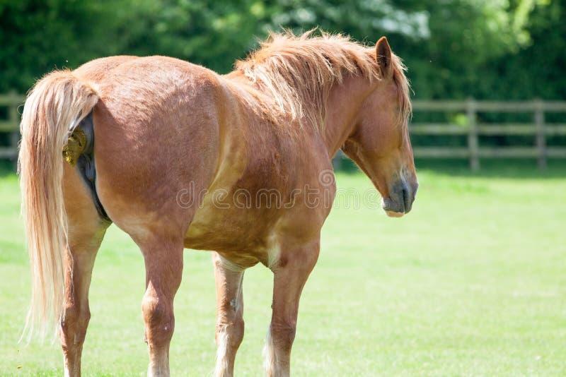 Mierda del caballo Animal que caga en un campo Imagen animal divertida del meme fotos de archivo libres de regalías