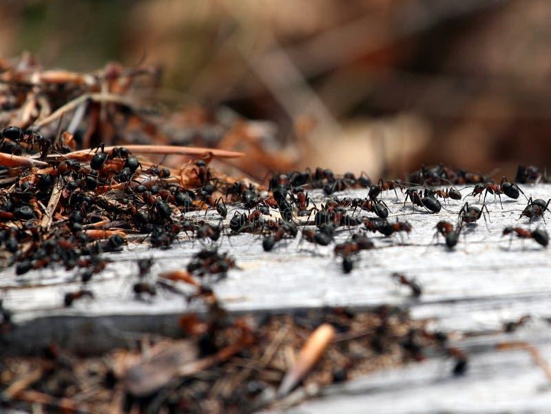 Mieren stock afbeelding