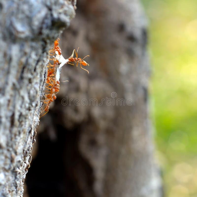 Mieren bij het werk bewegend voedsel stock foto