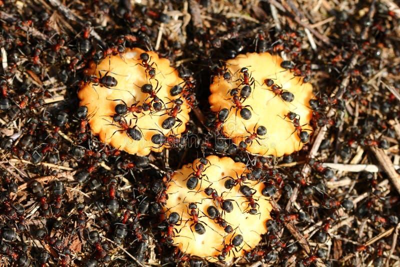 Mieren die crackers eten royalty-vrije stock foto