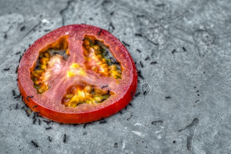 Mieren die een plak van tomaat eten stock foto's