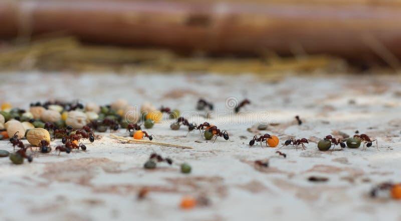 Mieren die een stapel van peulvruchten werken stock afbeeldingen