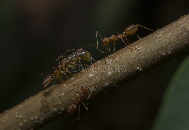 Mieren die hun die voedsel dragen in Badlapur wordt gezien stock foto