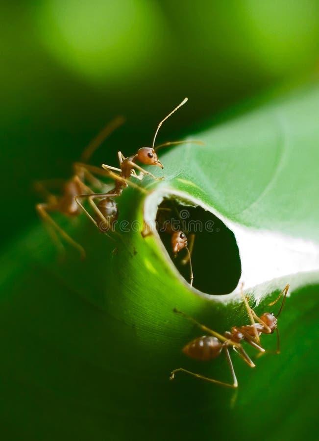 Mieren die Nest bewaken royalty-vrije stock foto's
