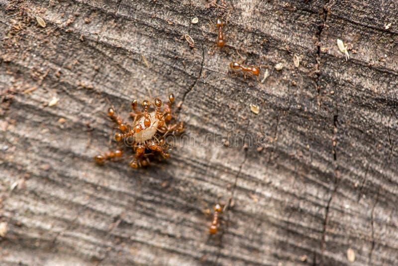 Mieren die voedsel dragen royalty-vrije stock afbeelding