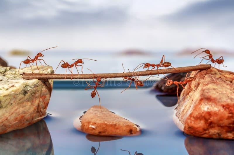Mieren die water proberen te kruisen stock afbeeldingen