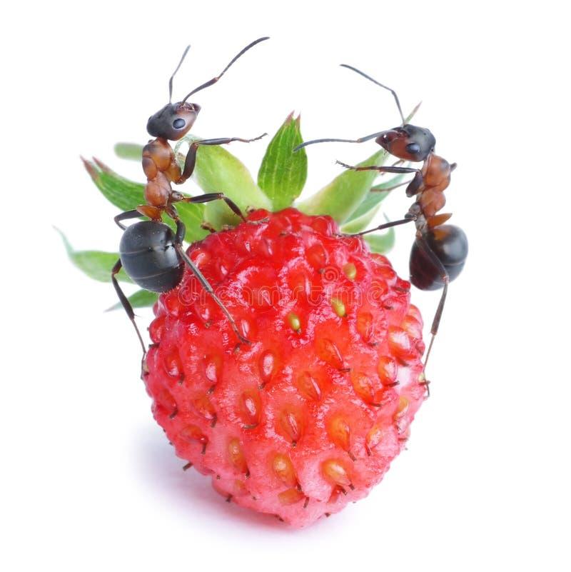 Mieren en aardbei stock afbeelding