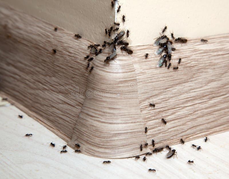 Mieren in het huis royalty-vrije stock afbeeldingen
