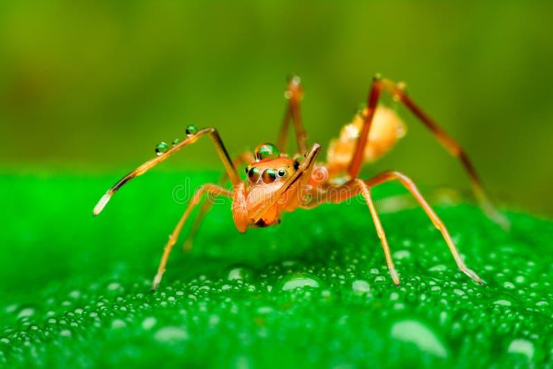 Mieren mimische spin met waterdalingen stock foto's