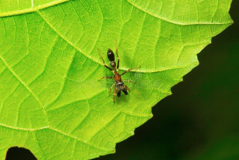 Mieren mimische spin, Myrmarachne, Aarey-Melkkolonie, INDIA royalty-vrije stock afbeeldingen
