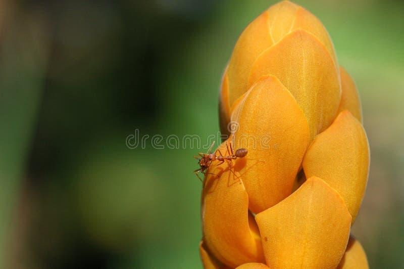Mieren op Bloem stock foto