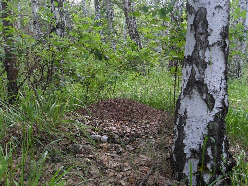 Mierenhoop in het hout stock afbeelding