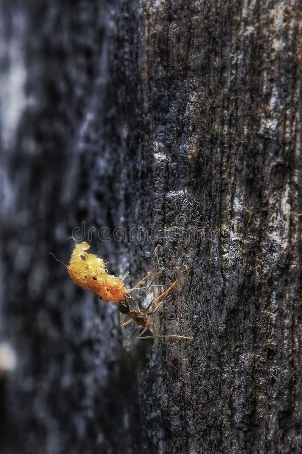 Mierenlift een groot voedsel stock afbeeldingen