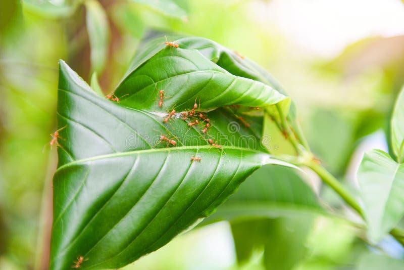 Mierennest op de boom - Rode mieren die weversnest met groene bladeren werken aan het aardbos op de zomer royalty-vrije stock foto