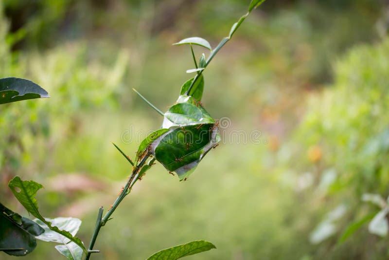 Mierennest op een boom stock afbeelding