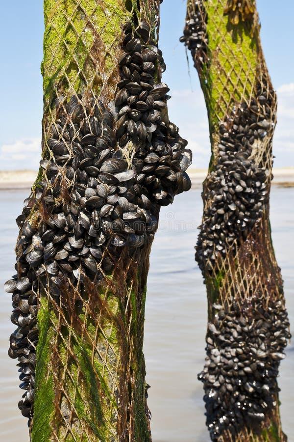 Miesmuschelbauernhof im Frankreich-Meer stockfoto
