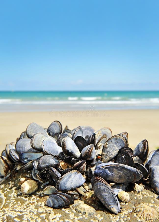 Miesmuscheln - eatable essbare Meerestiere stockbild